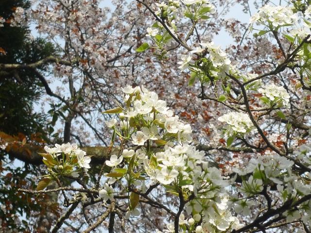 梨の花と桜の花の見分け方