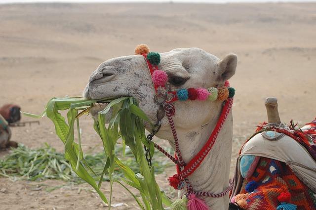 ラクダのハムハム